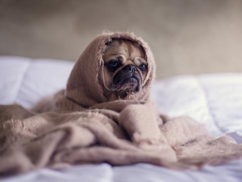 alergiškas šuo