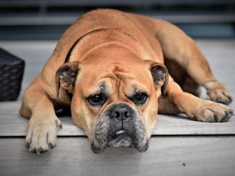 šunų ausų uždegimas