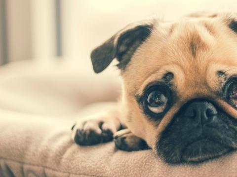 šunų akių ligos