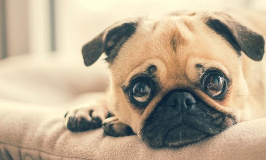 Anglų buldogas (English bulldog)