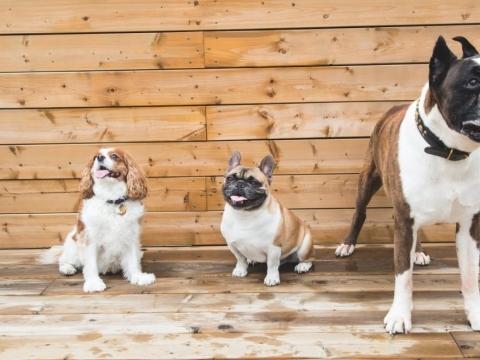 kaip šerti skirtingų veislių šunis